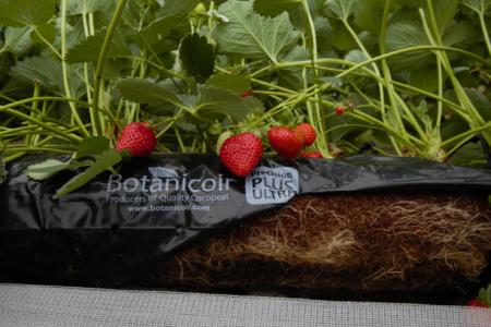 Strawberry PPU growbag