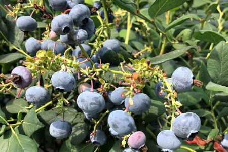 Growing Blueberries in Substrate